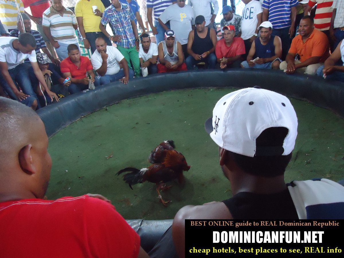 cockfighting in dr